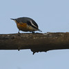 Red-breasted Nuthatch (Sitta canadensis) Mandan ND