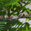 Eurasian Tree Sparrows (Passer montanus) with House Sparrows (Passer domesticus) Dogtown, St. Louis, MO