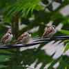 Eurasian Tree Sparrow (Passer montanus) Dogtown, St. Louis, MO