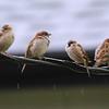 Eurasian Tree Sparrow (Passer montanus) with House Sparrows (Passer domesticus) Dogtown, St. Louis, MO