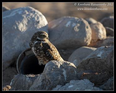Burrowing Owl, Cibola National Wildlife Refuge, Arizona, November 2012