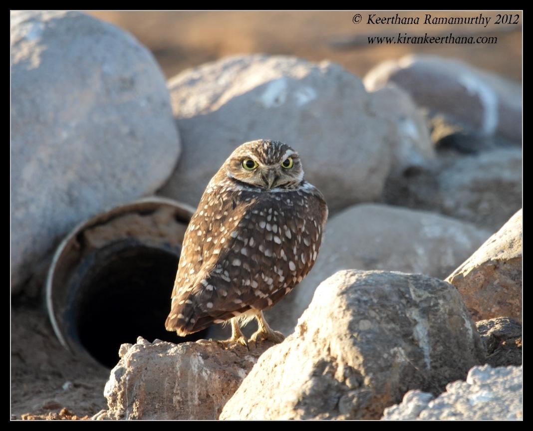 Burrowing Owl on its nest, Cibola National Wildlife Refuge, Arizona, November 2012