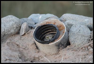 Burrowing Owl hiding back in its nest, Cibola National Wildlife Refuge, Arizona, November 2012