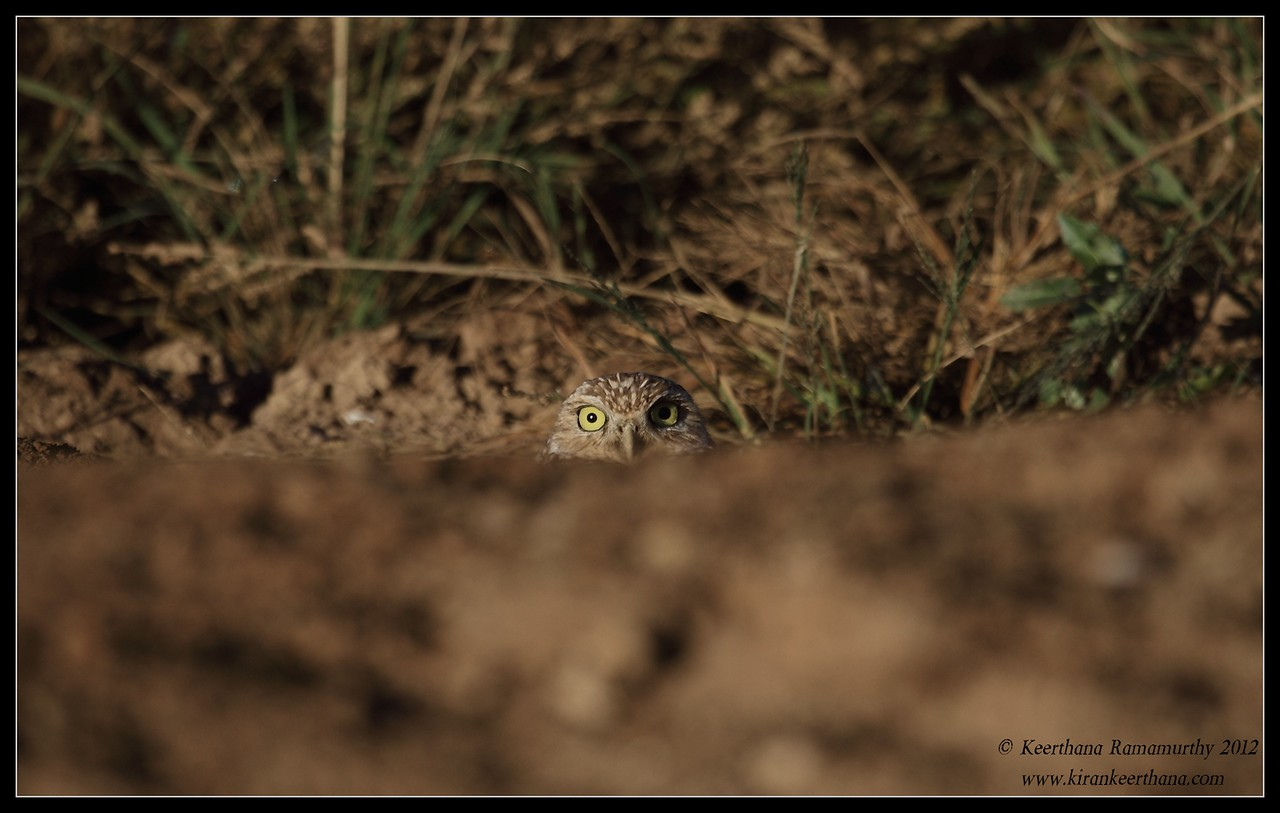 Burrowing Owl peeping above the ground, Cibola National Wildlife Refuge, Arizona, November 2012