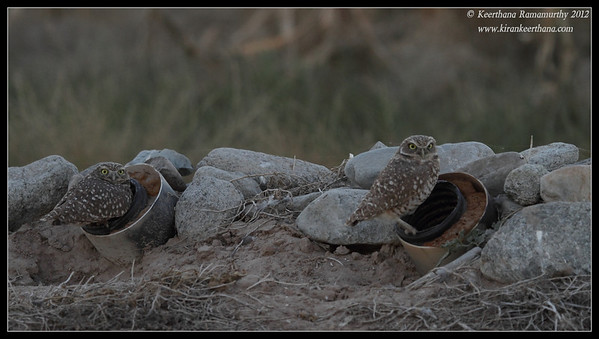 Burrowing Owls at dusk, Cibola National Wildlife Refuge, Arizona, November 2012