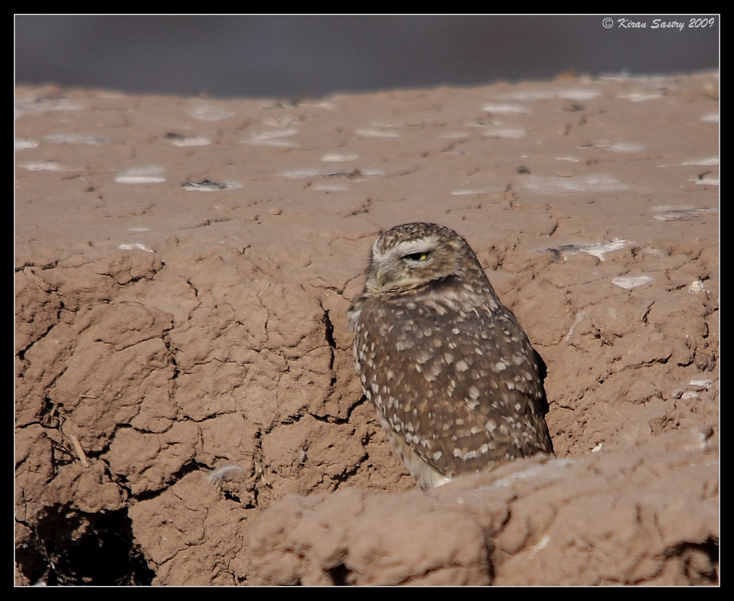Burrowing Owl, dozing by the lake on the south side of Calipatria State Prison, Salton Sea, Imperial County, California, November 2009