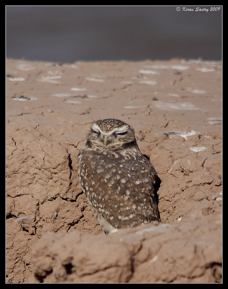 Burrowing Owl, dozing in the afternoon by the lake on the south side of Calipatria State Prison, Salton Sea, Imperial County, California, November 2009
