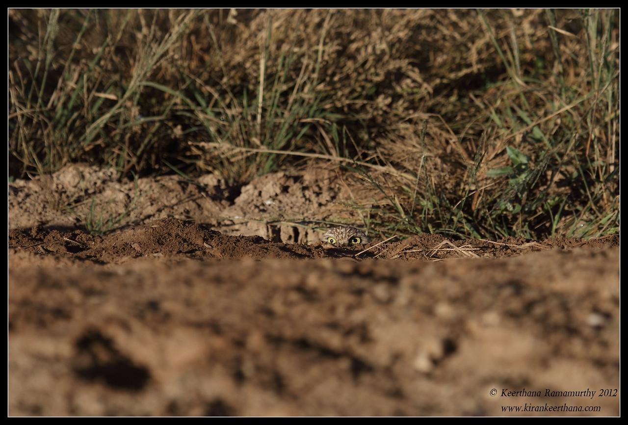 Burrowing Owl peeping above the ground, Cibola National Wildlife Refuge, Arizona, November 2012