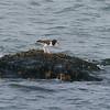 American Oystercatcher (Haematopus palliatus) Nantucket, MA