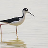 Black-necked Stilt (Himantopus mexicanus) Gilbert Riparian Preserve, Gilbert AZ