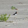 American Oystercatcher (Haematopus palliatus) Beachwalker SP, Kiawah Island, Charleston SC