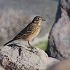 American Pipit (Anthus rubescens) Long Lake NWR, ND