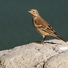 American Pipit (Anthus rufescens) Long Lake NWR, ND