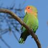 Rosy-faced Lovebird (Agapornis roseicollis) Mesa AZ