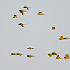 Green Parakeet 5