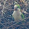 Monk Parakeet (Myiopsitta monachus) New Orleans LA