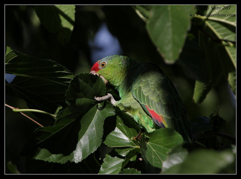 Lilac-Crowned Parrot, Lindo Lake, San Diego County, California, November 2011