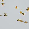 Green Parakeet (Psittacara holochlorus) McAllen TX