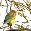 Rosy-faced Lovebird (Agapornis roseicollis) Scottsdale AZ