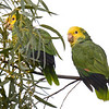 Yellow-headed Parrot (Amazona oratrix) Brownsville TX