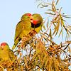 Red-crowned Parrot (Amazona viridigenalis) Brownsville TX
