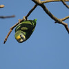 Orange-winged Parrot (Amazona amazonica) Fuchs Park, Coral Gables FL
