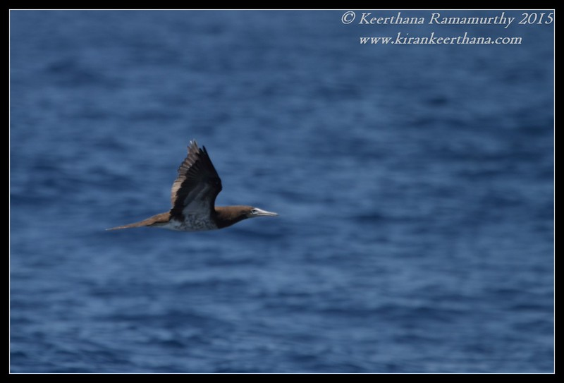 Brown Booby, Whale Watching trip, San Diego County, California, August 2015