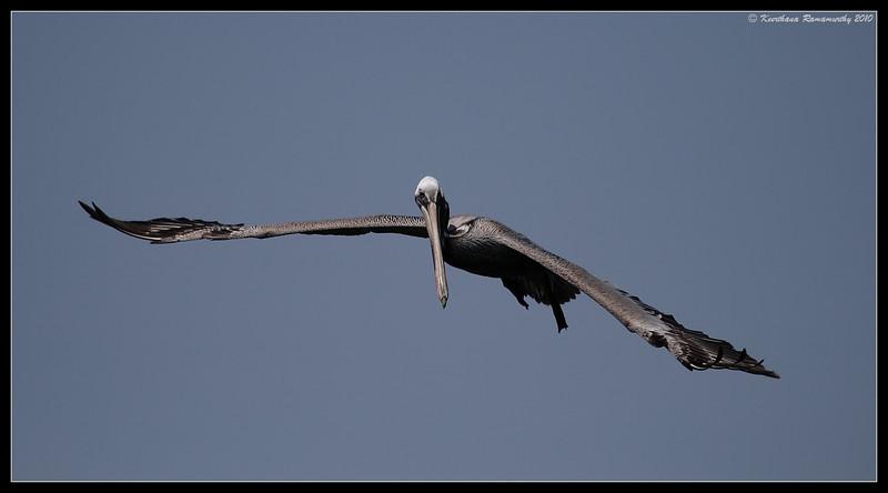 Brown Pelican in flight, Imperial Beach Pier, San Diego County, California, April 2010