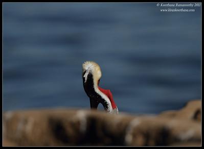 Brown Pelican in breeding plumage, a perspective, La Jolla Cove, San Diego County, California, December 2011