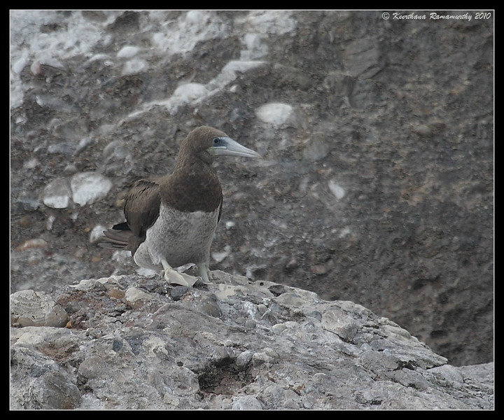 Brown Booby Female, Pelagic Trip Pacific Ocean, Islas Coronados, Mexico, March 2010