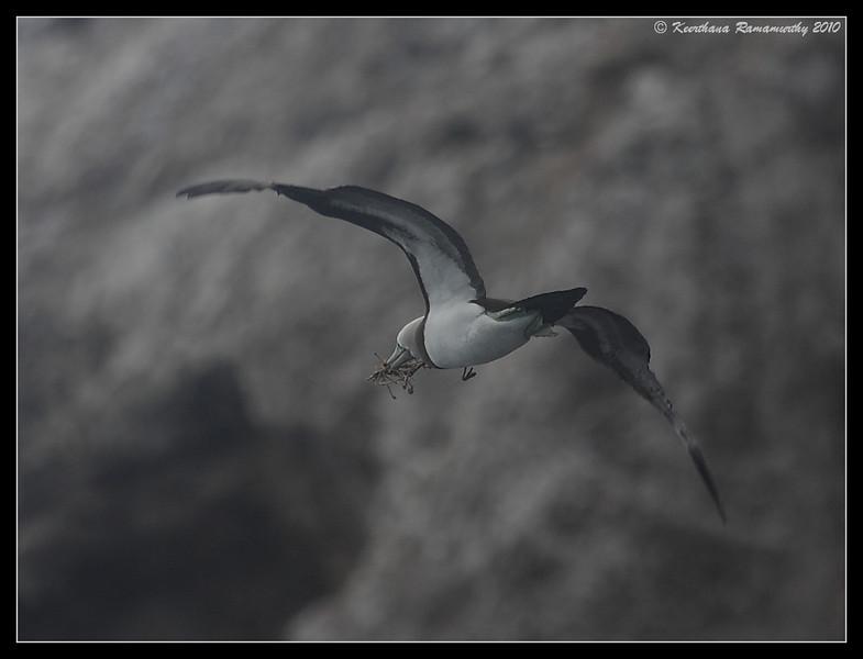 Brown Booby with nesting material, Pelagic Trip Pacific Ocean, Islas Coronados, Mexico, March 2010