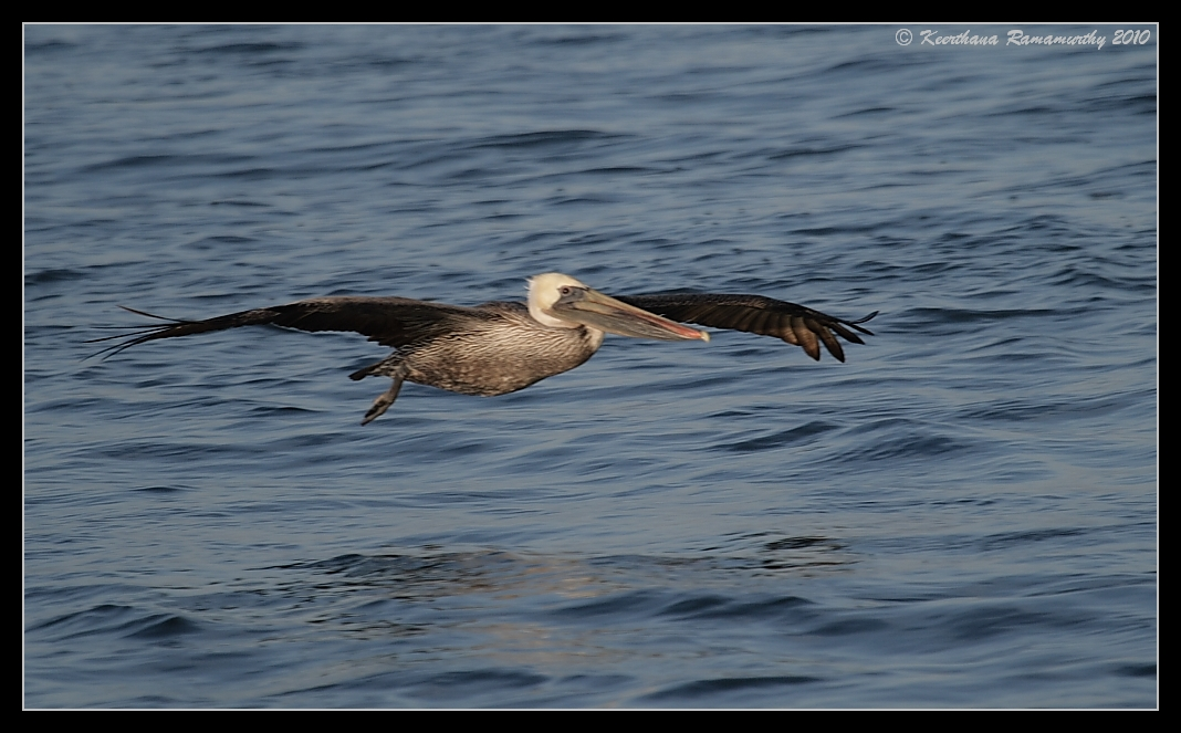 Brown Pelican skimming close to the water surface, Oceanside Pelagic Trip, San Diego County, California, January 2010