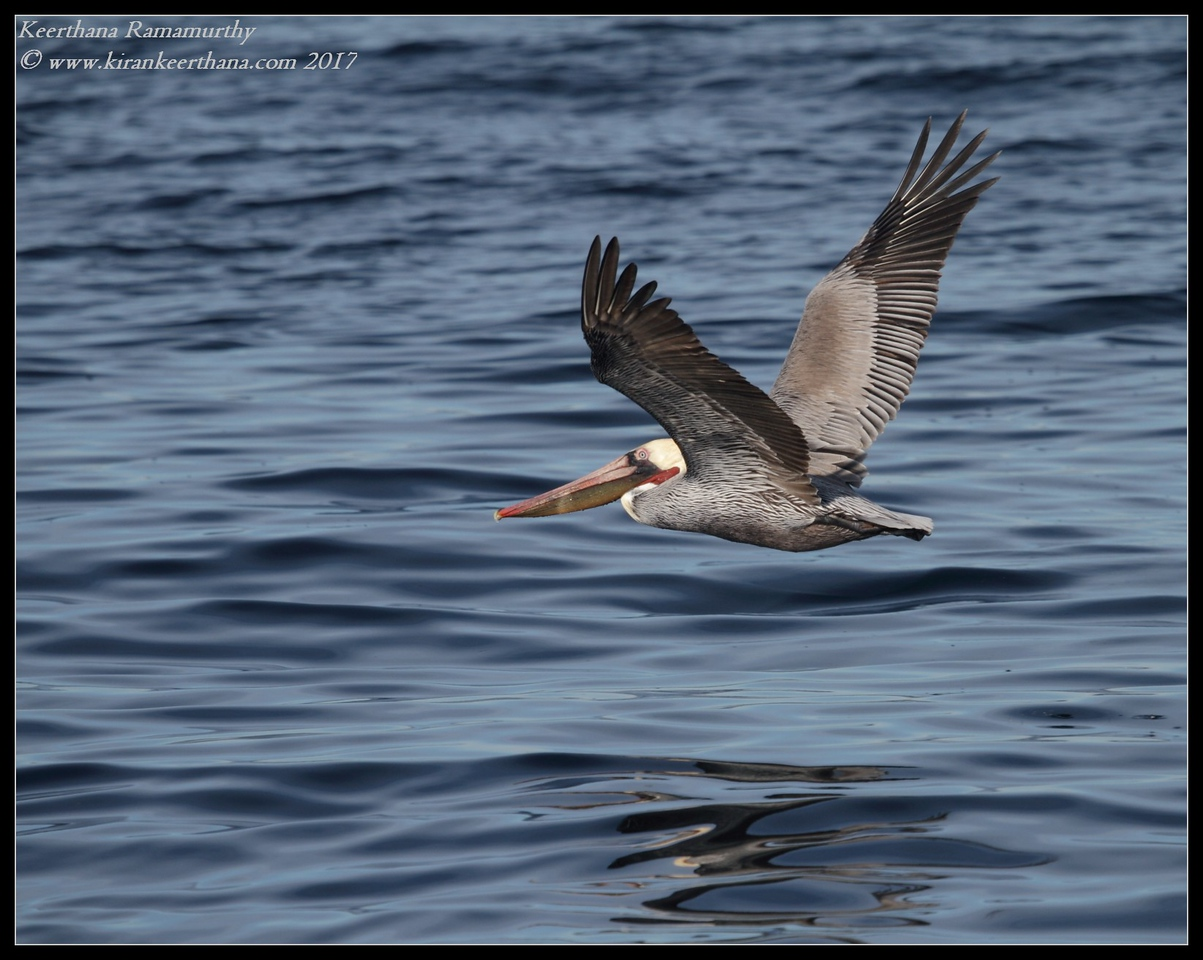 Brown Pelican in flight, Whale Watching trip, San Diego County, California, January 2017