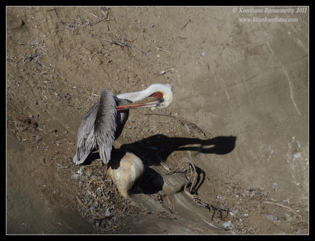 Brown Pelican in breeding plumage preening, La Jolla Cove, San Diego County, California, October 2011
