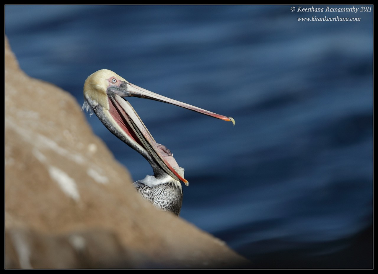 Brown Pelican in breeding plumage yawning, La Jolla Cove, San Diego County, California, December 2011
