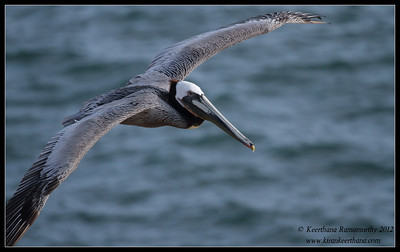 Brown Pelican in flight, La Jolla Cove, San Diego County, California, April 2012