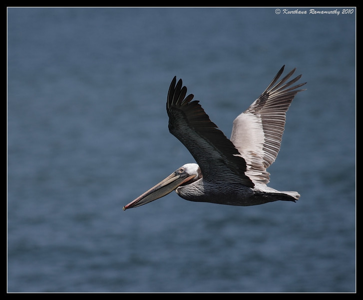 Brown Pelican in flight, Imperial Beach Pier, San Diego County, California, April 2010
