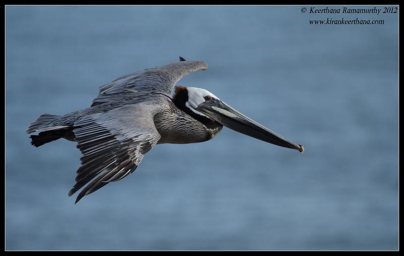 Brown Pelican in flight, La Jolla Cove, San Diego County, California, April 2012