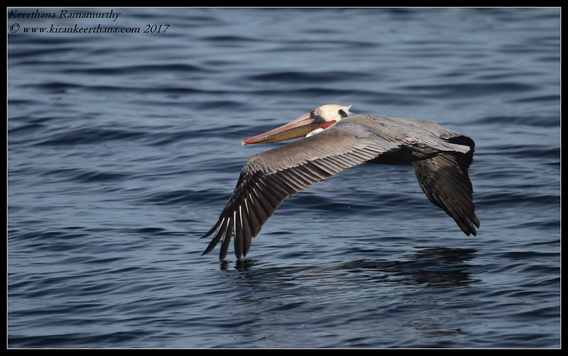 Brown Pelican in flight, Whale Watching trip, San Diego County, California, Jaunary 2017
