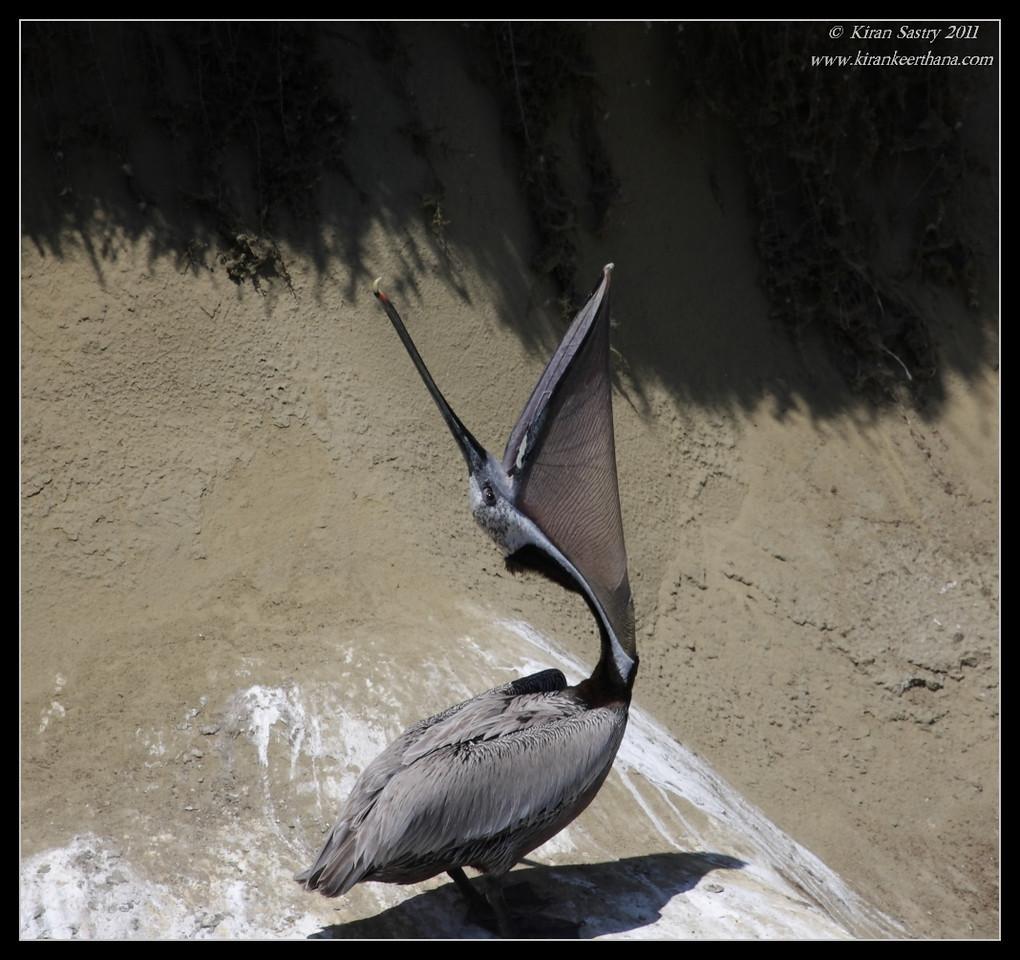 Brown Pelican streching, La Jolla Cove, San Diego County, California, June 2011