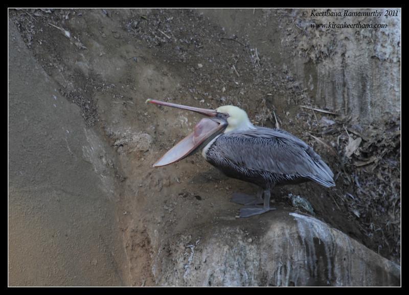 Brown Pelican yawning, La Jolla Cove, San Diego County, California, October 2011