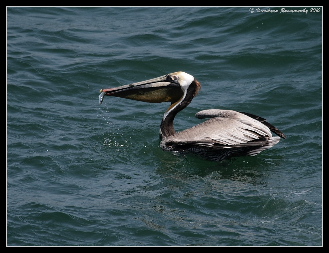 Brown Pelican with catch, Imperial Beach Pier, San Diego County, California, April 2010