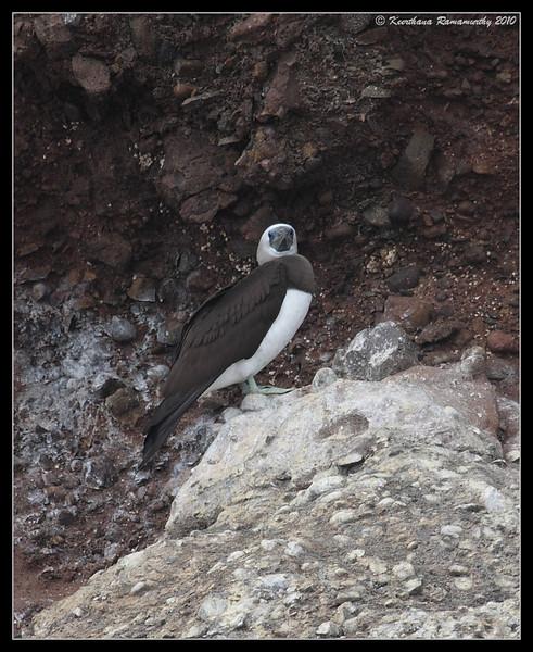 Brown Booby Male, Pelagic Trip Pacific Ocean, Islas Coronados, Mexico, March 2010