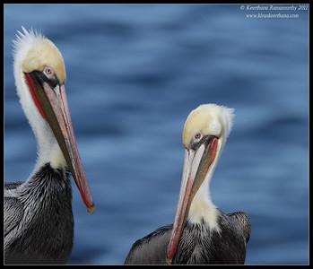 Brown Pelicans in breeding plumage posing, La Jolla Cove, San Diego County, California, December 2011
