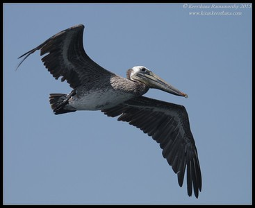 Brown Pelican in flight, Whale Watching trip, San Diego County, California, June 2015