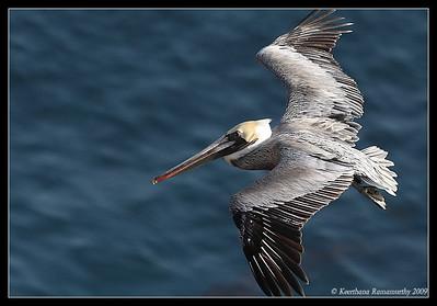 Brown Pelican, Anacapa Island, Channel Islands, November 2008