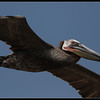 Brown Pelican, Cabrillo National Monument, San Diego County, California, June 2011