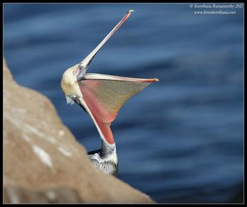 Brown Pelican in breeding plumage yawning, La Jolla Cove, San Diego County, California, December 2011