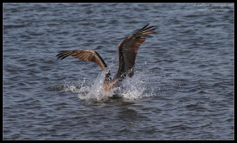Brown Pelican, Robb Field, San Diego River, San Diego County, California, April 2011