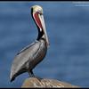 Brown Pelican in breeding plumage, La Jolla Cove, San Diego County, California, December 2011